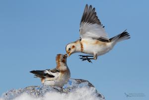 Snow Buntings and ice